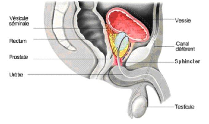 Laugmentation du membre caché sexuel
